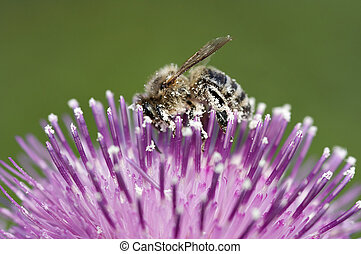 pollination - Detail close-up of the honeybee with antheral...
