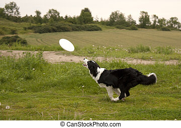 Dog catching disc - playing frisbee
