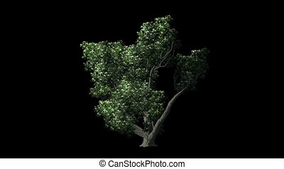 Sogar Maple Tree On black Background - 3d animation of Sogar...