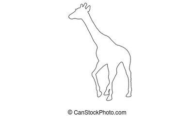 Giraffe walking. On white screen 2d line animation