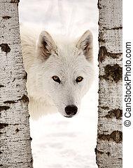 Arctic Wolf seen between two trees in winter