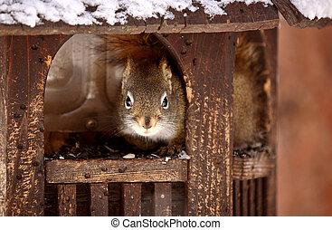 Red Squirrel inside of bird feeder in winter