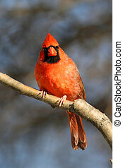 Cardinal On A Perch - Male Northern Cardinal (cardinalis) on...