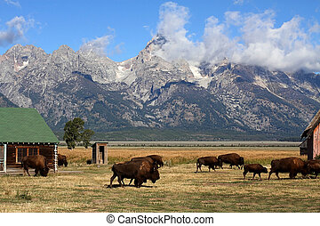 Bison Herd in the Grand Tetons - Bison Herd at the site of...