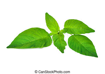 Redroot pigweed (Amaranthus retroflexus) isolated on white...