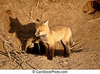 Red Fox pup at den