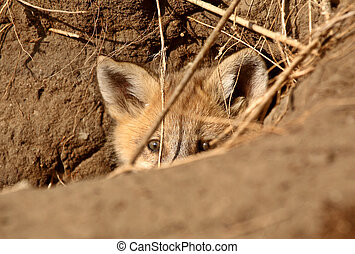 Red Fox pup peaking out of den