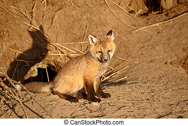Red Fox pup at den
