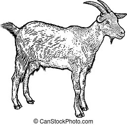 Goat illustration, drawing, engraving, line art, realistic, vector