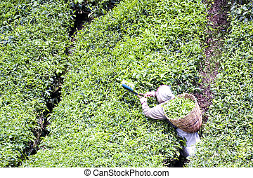 Worker Harvesting Tea Leaves - Image of a plantation worker...