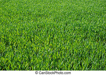 lawn - green fresh grass