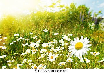 field of daisies, nature flower background