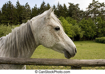 Roan horse at a fence
