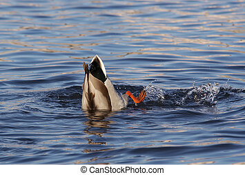 duck on the water - Shot of the hunting wild duck on the...