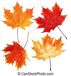 セット, 葉, 隔離された, 秋, 背景, 秋, 白, かえで