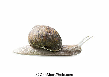 Burgundy snail (Helix, Roman snail, edible snail, escargot) isolated on white