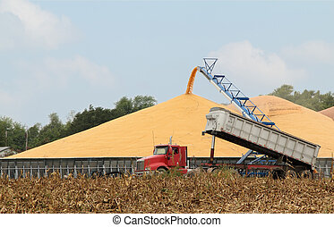 Harvested Corn - Harvested corn being unloaded from a truck...