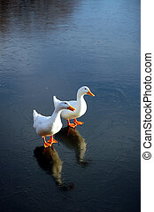 Pekin Ducks on Thin Ice III - Two Pekin ducks walking on...