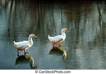 Pekin Ducks on Thin Ice - Two Pekin ducks walking on thin...