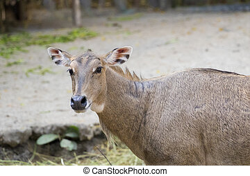 Image of a nilgai or blue bull on nature background. Wild animals.