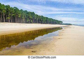 Pinus elliottii forest at Lagoa dos Patos lake - Forest of...