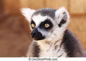 Lemurs monkey (Lemur catta)