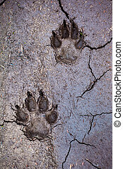 Wolf tracks in cracked mud