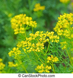 Common Rue, Ruta graveolens a herbal plant