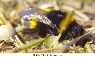Bumblebee in the spring grass, macro