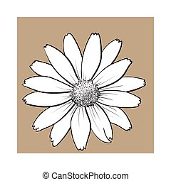 Open heliopsis blossom, top view, sketch style vector...