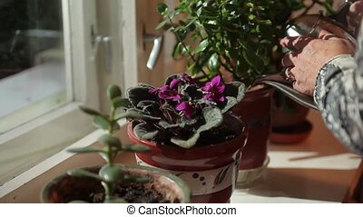 Flowers in pots on the windowsill - Old lady watering...