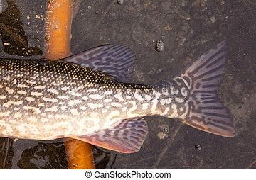 Northern Pike - Tail fluke of Northern Pike (Esox lucius) in...