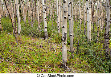 Northern aspen forest