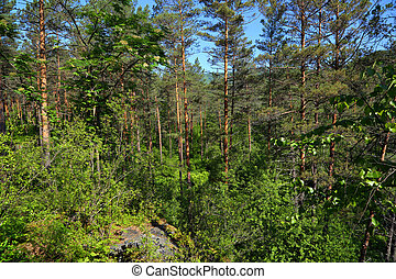 forest landscape in russian taiga - Forest summer landscape...