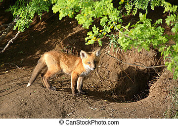 Fox kit by its den in Saskatchewan