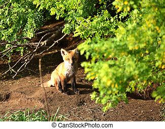Fox kit by its den in Saskatchewan