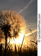 Sunlit goatsbeard seed pod in scenic Saskatchewan