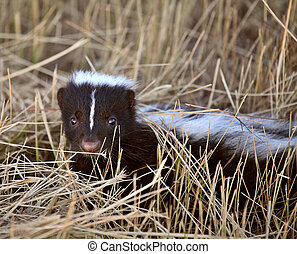 Young skunk in a stubble field