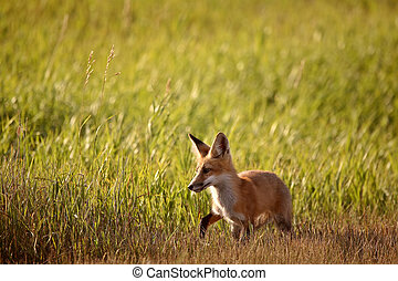 Young fox beside a Saskatchewan country road