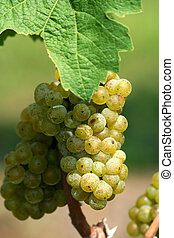 Green chardonnay grapes
