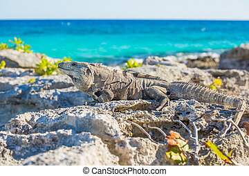 Iguana in wildlife. Cancun, Mexico - Island iguanas in...