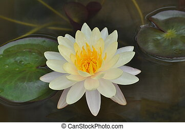 White color lotus