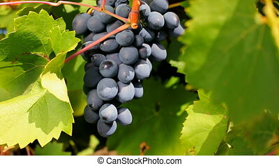 Professionally grown grapes - A bunch of black grapes...
