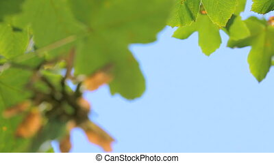 Green maple leaves - Maple leaves against the blue sky.