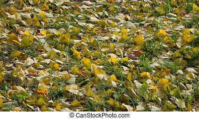 Ginkgo leafs at grass - Leaves of the ginkgo tree in fall at...
