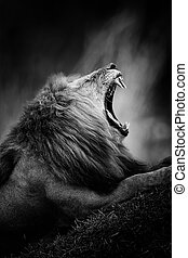 Black and white image of a lion - Dramatic black and white...