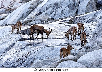 goats - Wild mountain goats in Alps rock