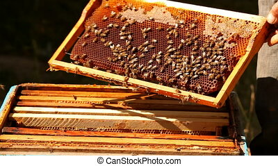 Apiary honey - A man checks for the presence of an apiary...