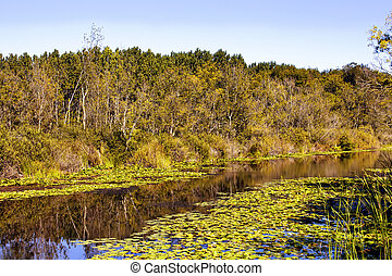 Many water lilies (Nymphaea) at Acarlar floodplain forest....
