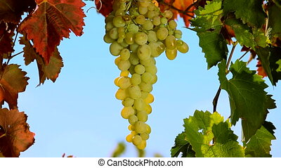 Bunch of grapes - Juicy bunch of grapes on a background of...